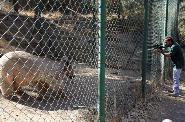A bear is shot with a tranquilizer gun before being moved from the al-Ma'wa New Hope Center, outside Amman, Jordan, Sunday, October 2, 2016. Two tigers and a bear were moved on Sunday to a wildlife reserve in northern Jordan. They are among 25 animals to be released into the al-Mawa reserve near the town of Jerash. Many of the 17 lions, five wolves, two tigers and a bear were confiscated from smugglers. Two lion cubs came from the Gaza Strip last year, while another two were rescued after smugglers advertised the cubs on Facebook. (Photo by Thomas Hartwell/AP Photo)