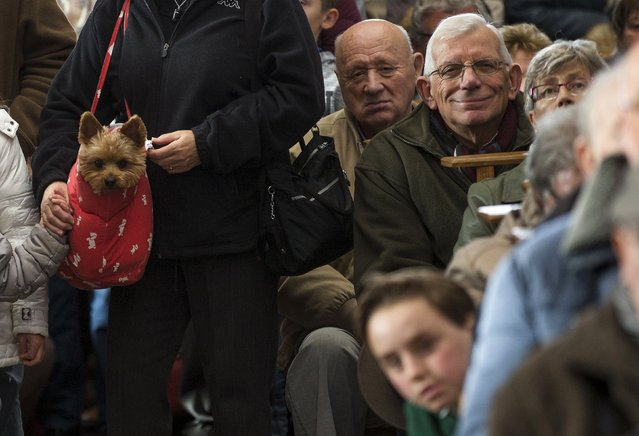 A yorkshire terrier is seen among faithfuls during a religious service ahead of a blessing ceremony for animals at the Basilica of St Peter and Paul in Saint-Hubert, Belgium November 3, 2015. (Photo by Yves Herman/Reuters)