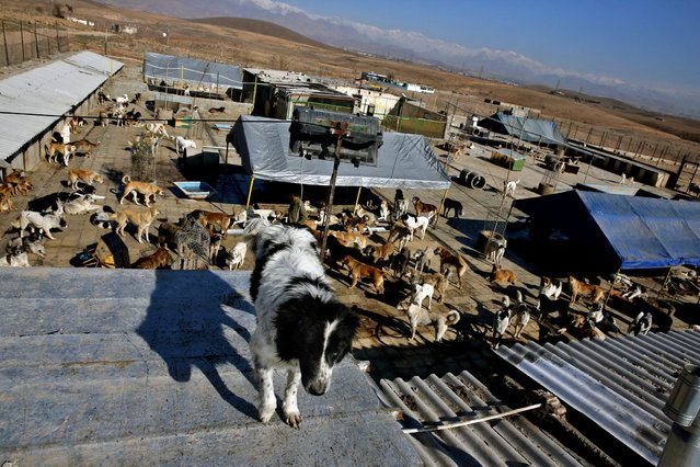 In this Friday, December 5, 2014 photo, a dog stands on a rooftop at the Vafa Animal Shelter in the city of Hashtgerd 43 miles (73 kilometers) west of the capital Tehran, Iran. Man's best friend is seen as anything but in Iran, where city workers gun down strays and conservatives view pet dogs as a corrupting Western influence. (Photo by Vahid Salemi/AP Photo)