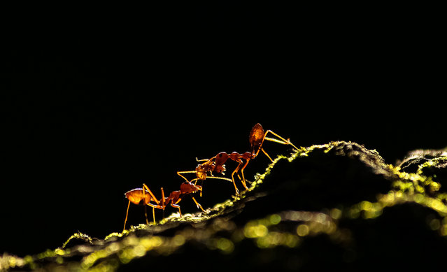 "Overall runner-up: Ant Tale by Upamanyu Chakraborty. Weaver ants' social behaviour taken in a backlit situation. A weaver ant colony is a great example of social behaviour among the animal kingdom, with their role as ""ecosystem engineers"". (Photo by Upamanyu Chakraborty/2020 British Ecological Society Photography Competition)"