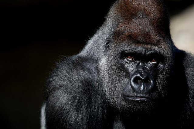 Kumbuka, a 15-year-old western lowland gorilla, explores his new enclosure in the ZSL London Zoo, on May 2, 2013. The silverback male, who weights 407 pounds and stands seven foot tall, moved from Paignton Zoo two weeks ago. It is hoped that Kumbuka will mate with the zoo's three female gorillas to increase numbers of the critically endangered species as part of the European breeding program. (Photo by Oli Scarff/Getty Images)
