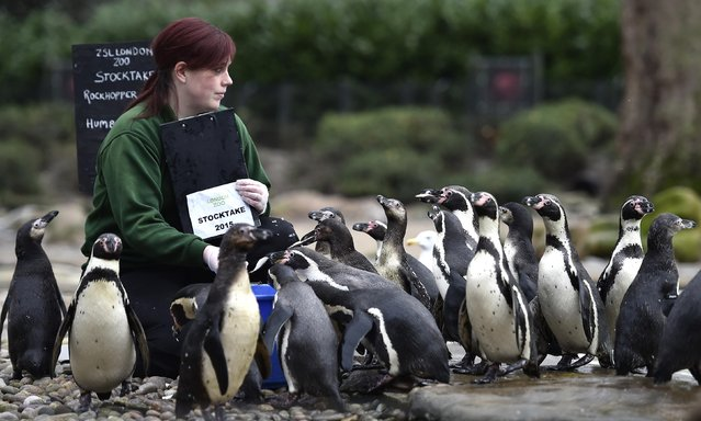 Zookeeper Vicky Eyson poses with Humboldt penguins at London Zoo in London, January 5, 2015. (Photo by Toby Melville/Reuters)