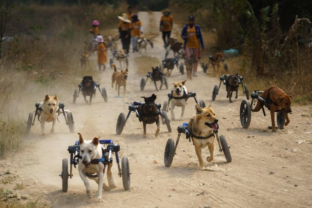 Disabled dogs in mobility aids run during a daily walk at The Man That Rescues Dogs Foundation in Chonburi, Thailand, January 26, 2021. Most victims of accidents, the dogs are being nursed back to health at a shelter in Thailand's province of Chonburi southeast of the capital, Bangkok. (Photo by Athit Perawongmetha/Reuters)