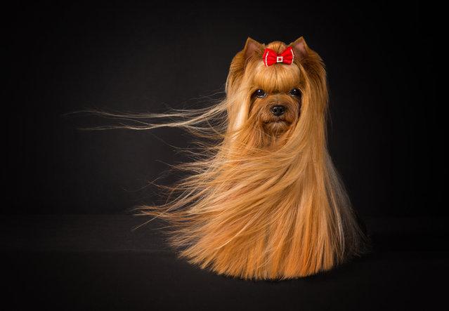 Judges' mention, Portrait. Yorkshire terrier Amy by Viktoria Baranova from Estonia. (Photo by Viktoria Baranova/Dog Photographer of the Year 2018)