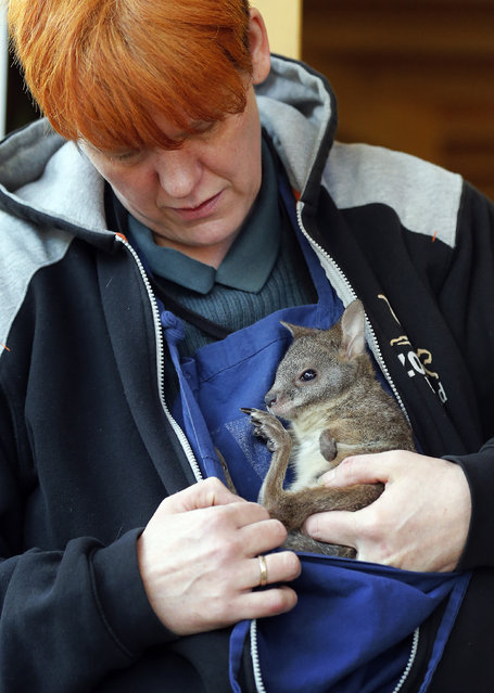 Male baby Kangaroo Norman looks out of a bag fixed around the neck of its substitute mother and zookeeper Yvonne Wicht at the Zoo in Krefeld, Germany, Friday, February 6, 2015. (Photo by Frank Augstein/AP Photo)