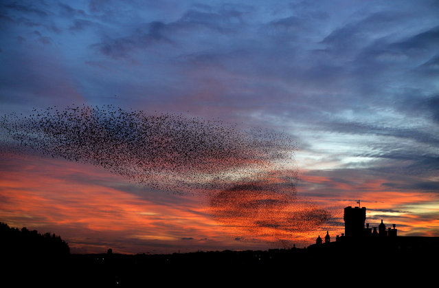 Starlings fly in the sky of Rome at sunset on January 27, 2015. (Photo by Filippo Monteforte/AFP Photo)