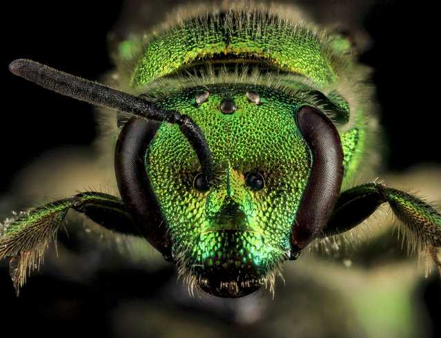 Augochloropsis metallica, F, Face, Laurel, Maryland. (Photo and caption by Sam Droege/USGS Bee Inventory and Monitoring Lab)