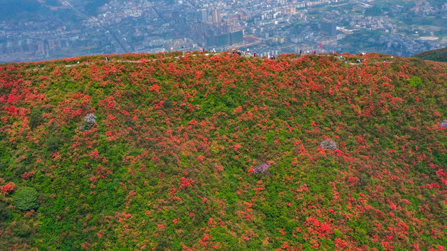 Aerial photo taken on April 24, 2021 shows tourists viewing blooming azalea flowers at Longquan Mountain in Danzhai County, southwest China's Guizhou Province. (Photo by Xinhua News Agency/Rex Features/Shutterstock)