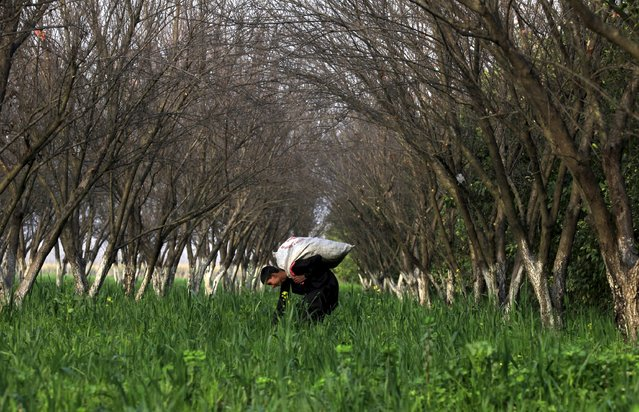 A boy collects fodder for cattle between trees in an orchard in Charsadda near Peshawar, Pakistan January 13, 2016. (Photo by Fayaz Aziz/Reuters)