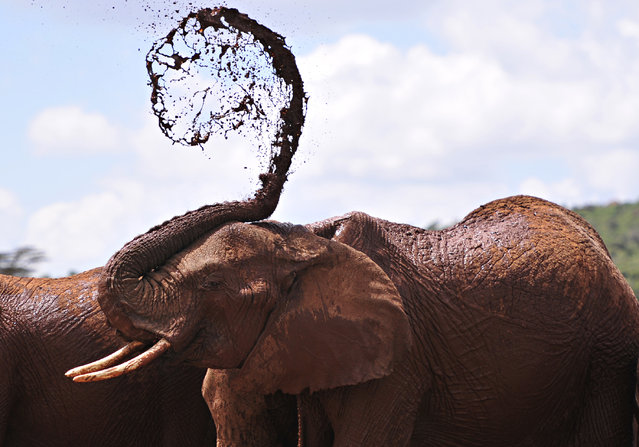 An African elephants throws mud onto himself at the Mpala Research Center and Wildlife Foundation, near Rumuruti, Laikipia District, Kenya, on January 31, 2016. (Photo by Simon Maina/AFP Photo)