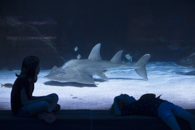 A ray shark swims by a viewing theater as visiting children rest beside the glass at the Newport Aquarium, Monday, May 4, 2015, in Newport, Ky. (Photo by John Minchillo/AP Photo)