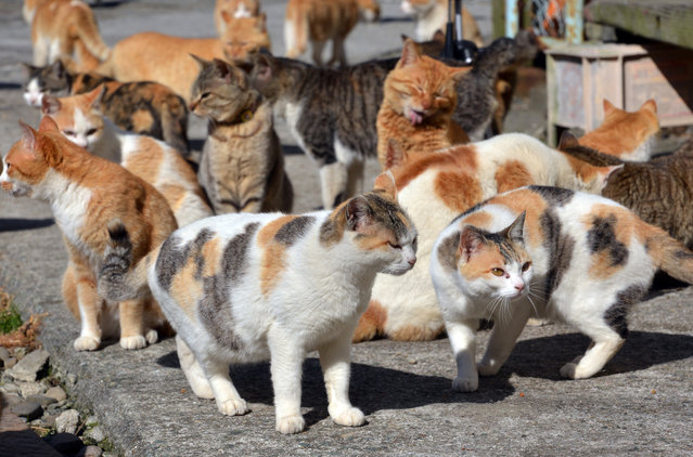 Cats roam freely March 28, 2016 in Aoshima, Japan where they outnumber humans by more than five to one. (Photo by Aflo/Barcroft Media)