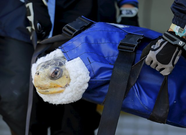 One of two rescued endangered olive ridley turtles arrives at Sea World's animal rescue center after being flown from the Oregon coast by the U.S. Coast Guard to San Diego, California March 30, 2016. (Photo by Mike Blake/Reuters)
