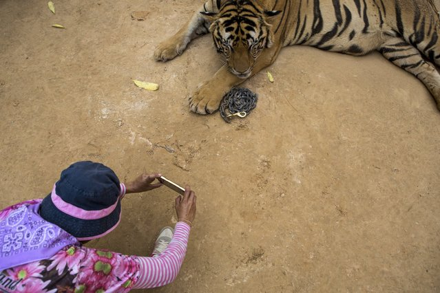 """A staff member photographs a visitor with one of the big cats at Tiger Temple, in Kanchanaburi, Thailand, March 16, 2016. """"We built this temple to spread Buddhism"""", said Supitpong Pakdjarung, a former police colonel who runs the temple's business arm. """"The tigers came by themselves"""". (Photo by Amanda Mustard/The New York Times)"""
