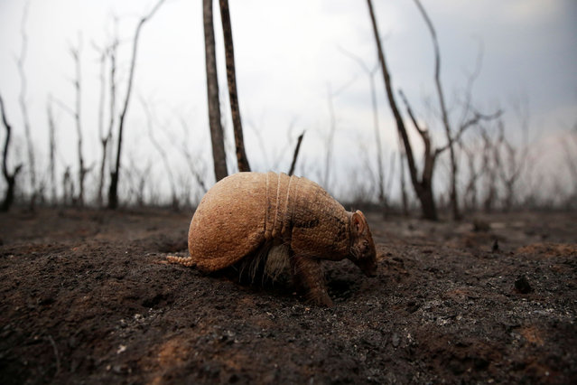 An armadillo, which has been blinded by the heat from a fire according to veterinarian Jerjes Suarez, walks on the grounds of the Guarani Nation Ecological Conservation Area Nembi Guasu in the Charagua region, an area where wildfires have destroyed hectares of forest, Bolivia, August 26, 2019. (Photo by David Mercado/Reuters)