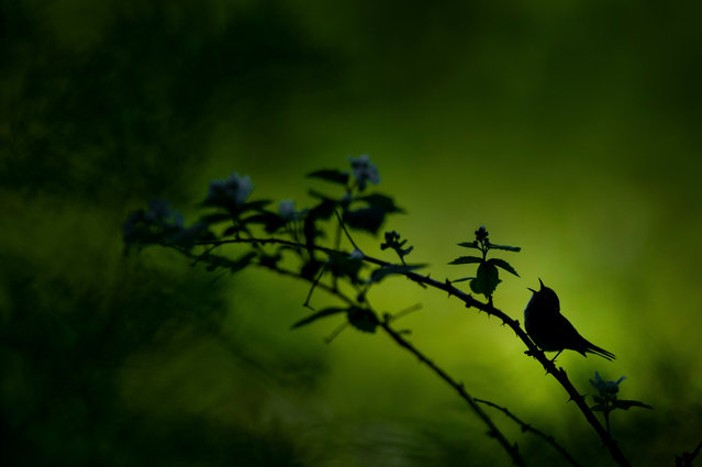 Singing Silhouette by Raymond Hennessy, USA: a chestnut-sided warbler sings out while silhouetted against the bright forest. Second place – wildlife. (Photo by Raymond Hennessy/The Nature Conservancy Global Photo Contest 2019)