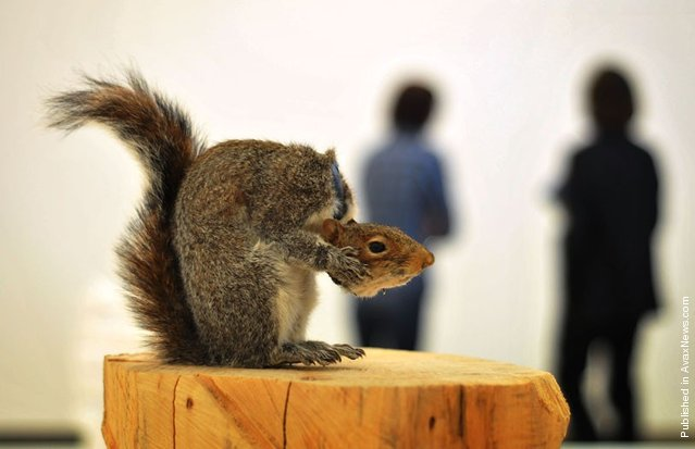 A taxidermied artwork of a squirrel entitled Nutless
