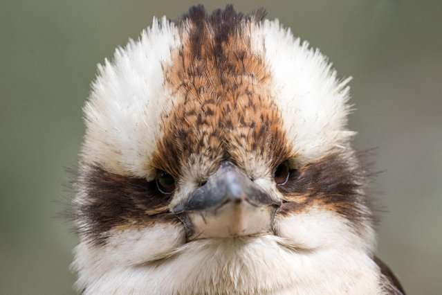 A laughing kookaburra perched on a tree branch. The bird is currently in third place in the competition to find the Australian bird of the year 2019. (Photo by Ken Griffiths/Alamy Stock Photo)