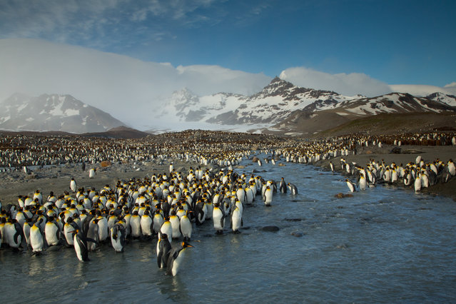 """""""Penguins at Saint Andrews Bay"""". I was very excited to see thousands of King Penguins in this beautiful setting. Photo location: Saint Andrews Bay, South Georgia Island. (Photo and caption by Robert McRae/National Geographic Photo Contest)"""