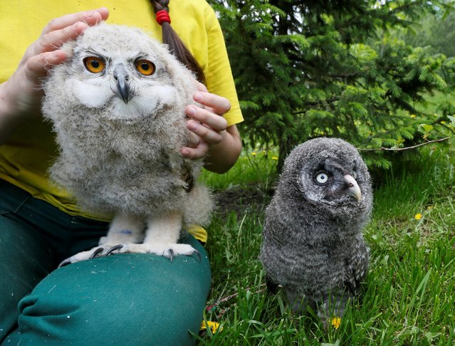 A zoo employee holds a 3-week-old Eurasian eagle owl as a Great grey owl (or Lapland owl) stands nearby at the Royev Ruchey zoo on the suburbs of the Siberian city of Krasnoyarsk, Russia, June 7, 2016. (Photo by Ilya Naymushin/Reuters)