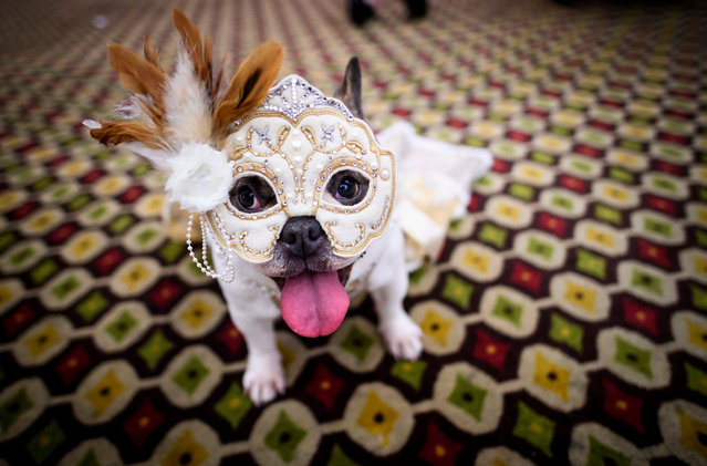 A dog dressed up for a show sits backstage during the 16th annual New York Pet Fashion Show on February 7, 2019 in New York City. (Photo by Johannes Eisele/AFP Photo)