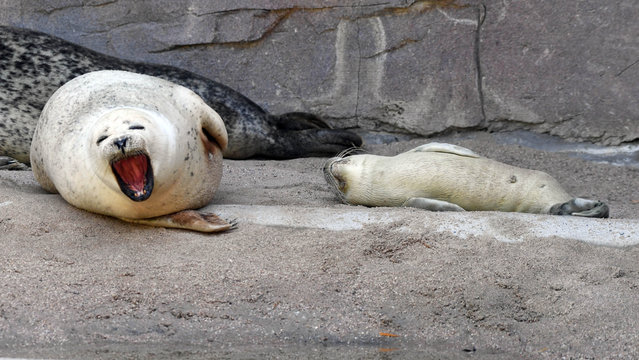 Seal mother Gina (L) yawns next to her baby Felix on July 13, 2017 at the zoo in Karlsruhe, southwestern Germany. Felix was born on July 8, 2017 at the zoo. (Photo by Uli Deck/AFP Photo/DPA)