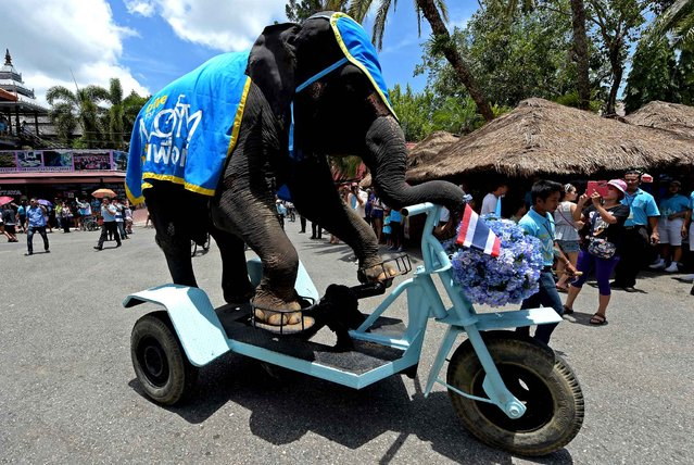 An elephant rides a tri-cycle to promote a Bike for Mom event in Pattaya on August 12, 2015. The Bike for Mom campaign, a 43-kilometre ride through the Thai capital, will be held on August 16 to commemorate Thai Queen Sirikit's 83rd birthday. (Photo by Pornchai Kittiwongsakul/AFP Photo)
