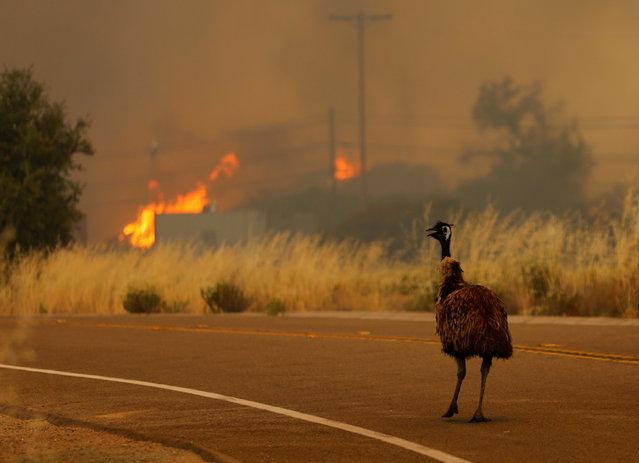 An emu runs to escape an approaching wildfire as it burns near Potrero, California, U.S. June 20, 2016. (Photo by Mike Blake/Reuters)