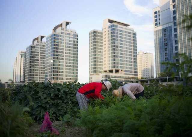 Women harvest crops from a communal green area among high-rise apartments in Incheon, South Korea on  September 18, 2014. (Photo by Jason Reed/Reuters)