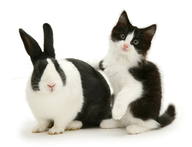 Black Dutch rabbit with black-and-white kitten Felix. (Photo by Mark Taylor/Warren Photographic/Caters News Agency)