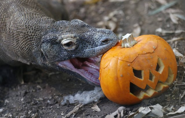 """Raja, a Komodo Dragon, bites a carved pumpkin during a Halloween-themed media event at the London Zoo October 30, 2012. Raja appears as himself in the latest James Bond film """"Skyfall"""". (Photo by Suzanne Plunkett/Reuters)"""