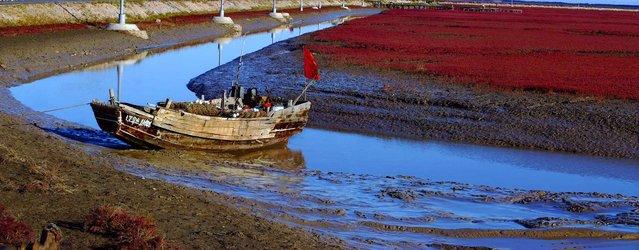 盘锦红海滩 (Panjin Red Beach). (Photo by 猪倌)