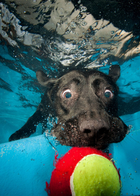 A black Labrador eyes up a tennis ball just out of his reach. (Photo by Jonny Simpson-Lee/Caters News Agency)