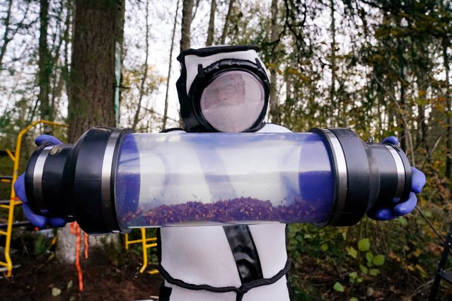 Sven Spichiger, Washington State Department of Agriculture managing entomologist, displays a canister of Asian giant hornets vacuumed from a nest in a tree behind him on October 24, 2020, in Blaine, Washington. Scientists in Washington state discovered the first nest earlier in the week of so-called murder hornets in the United States and worked to wipe it out Saturday morning to protect native honeybees. (Photo by Elaine Thompson/AFP Photo)