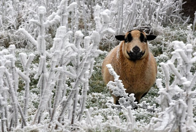 A sheep stands amidst ice covered plants on the Hohen Meissner mountain 750 meters above sea level near Hessisch Lichtenau, northeast of Frankfurt, Germany, Tuesday, December 2, 2014. The temperature in this area is around one degree Celsius below zero (30 degrees Fahrenheit). (Photo by Uwe Zucchi/AP Photo/DPA)