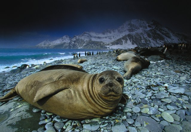"""Adolescent elephant seals are exceptionally engaging subjects. Elephant seals are found on many subantarctic islands such as South Georgia, as well as along parts of the Argentine coast. While the island supports limited vegetation and terrestrial life (75 percent of the island is under snow and ice), marine life is abundant"". (Photo by Art Wolfe/Art Wolfe Stock)"