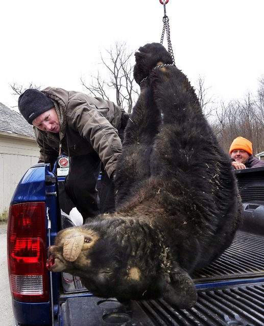 Kim Tinnes, with New Jersey's Division of Fish and Wildlife, examines a 346 pound male bear brought to the Whittingham Wildlife Management Area for check-in on the first day of the last of New Jersey's five state-sponsored bear hunts Monday, December 8, 2014, in Fredon, N.J. Wildlife officials and opponents of the hunt sparred over whether the hunt has been effective and should be renewed. (Photo by Mel Evans/AP Photo)