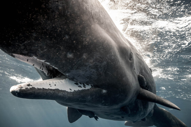 A sperm whale. (Photo by Alexandre Roubaud/Alexandre Voyer/Caters News)
