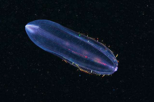 A Comb jelly – Beroe cucumis. (Photo by Alexander Semenovs/Caters News)