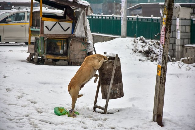 A dog explores a dustbin after fresh snowfall in Srinagar on January 3, 2021. Moderate to heavy snowfall started on Sunday across the Kashmir valley cutting the valley's surface as well as air connection with the rest of the world, officials said. The weatherman has forecasted widespread snowfall till the forenoon of December 6. (Photo by Saqib Majeed/SOPA Images/Rex Features/Shutterstock)
