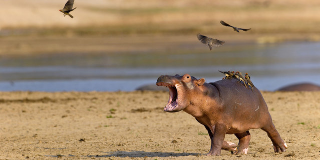 This is the hilarious moment a terrified baby hippo ran screaming for its mum when a flock of bird landed on its back in South Luangwa National Park in Zambia. The hippo was seen screaming, running and twisting from side to side in a desperate bid to shake off the red and yellow ox-pecker birds. (Photo by Marc Mol/Caters News/SIPA Press)