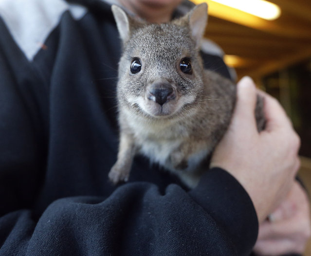 Male baby Kangaroo Norman is held by its substitute mother and zookeeper Yvonne Wicht at the Zoo in Krefeld, Germany, Friday, February 6, 2015. (Photo by Frank Augstein/AP Photo)