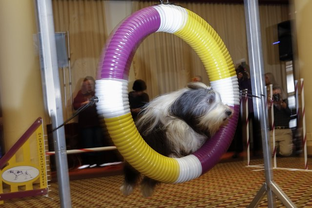 Poppet, a Bearded Collie, jumps through a hoop during an agility demonstration at a news conference for the upcoming 139th Annual Westminster Kennel Club Dog Show in New York February 12, 2015. (Photo by Shannon Stapleton/Reuters)