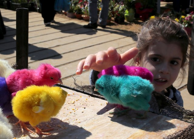A girl plays with coloured chicks for sale prior to Easter celebrations in Byblos March 22, 2015. (Photo by Jamal Saidi/Reuters)