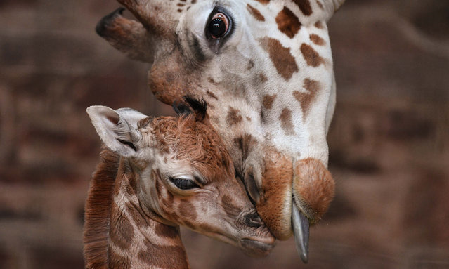 Keepers at the city zoo are celebrating after the birth of a rare Rothschild's giraffe calf, seen left with its mother in Chester, UK on December 29, 2016. (Photo by Steve Rawlins/Chester Zoo)