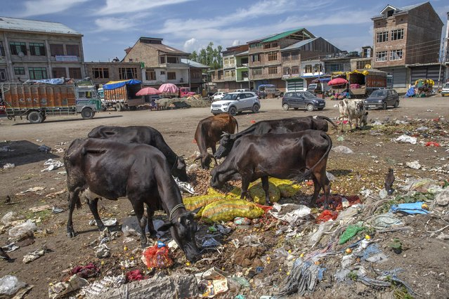 Cows feed from a pile of rotten fruits and vegetables inside the wholesale market in the outskirts of Srinagar, Indian controlled Kashmir, Friday, July 16, 2021. (Photo by Dar Yasin/AP Photo)