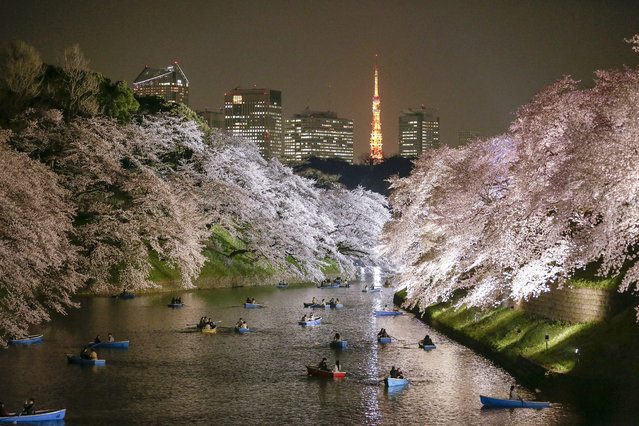 People rowing boats enjoy night view of cherry blossoms in full bloom on Chidorigafuchi moat in Tokyo, Japan, 30 March 2015 after the Meteorological Agency announced on 29 March cherry blossoms became in full bloom, five days earlier than average year. The warm weather with temperatures of up to 23.6 degrees Celsius prompted many people to enjoy viewing cherry blossoms with some drinks. (Photo by Kimimasa Mayama/EPA)