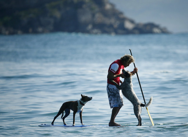 Australian dog trainer and former surfing champion Chris de Aboitiz receives affection from his dog Millie (R) as fellow pet dog Rama watches on as they wait for a wave off Sydney's Palm Beach, February 18, 2016. (Photo by Jason Reed/Reuters)