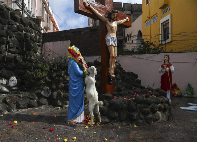 A goat feeds on a flower garland that was placed on a statue of Mother Mary in front of a crucifix at the shrine of Our Lady of Health during the annual feast of the birth of Virgin Mary in Hyderabad, India, Wednesday, September 8, 2021. (Photo by Mahesh Kumar A./AP Photo)