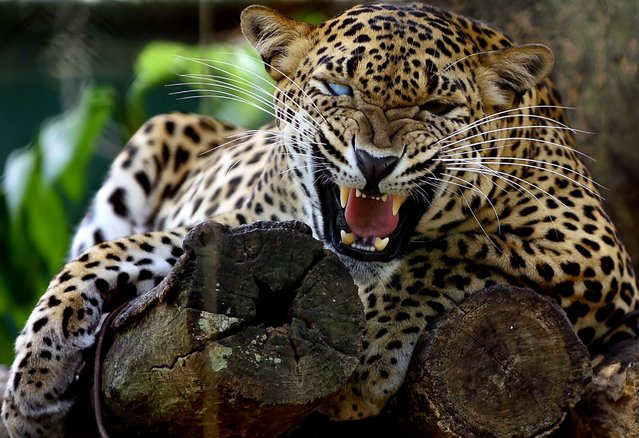 A Sri Lankan leopard is pictured at a zoo in Dehiwala near Colombo on March 3, 2016, on World Wildlife Day. (Photo by Ishara S. Kodikara/AFP Photo)